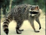 Cute Sneaky Raccoons