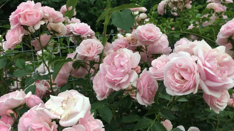 Чудо лета-розы.16 июня.г.Волковыск.Беларусь.