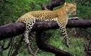 Леопард на ветке обои, картинки, фото.