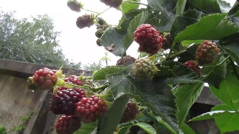ЛЕТНЯЯ ОБРЕЗКА ЕЖЕВИКИ Как обрезать плодоносящий куст летом