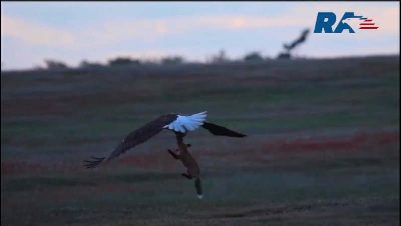 Анонс. The dramatic battle of the fox and eagle