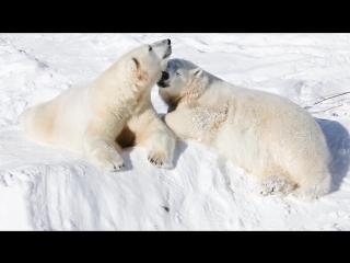 Белые медведи наслаждаются весной в зоопарке Рануа!
