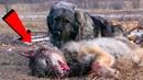 Kurdun Baş Düşmanı KAFKAS ÇOBAN KÖPEĞİ En İyi Videoları ►► Best of Big Caucasian Shepherd Dog Videos