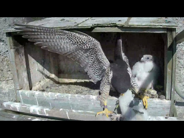 Mom to the rescue AGAIN! Great Spirit Bluff Falcons. 08.11 / 28 May 2017