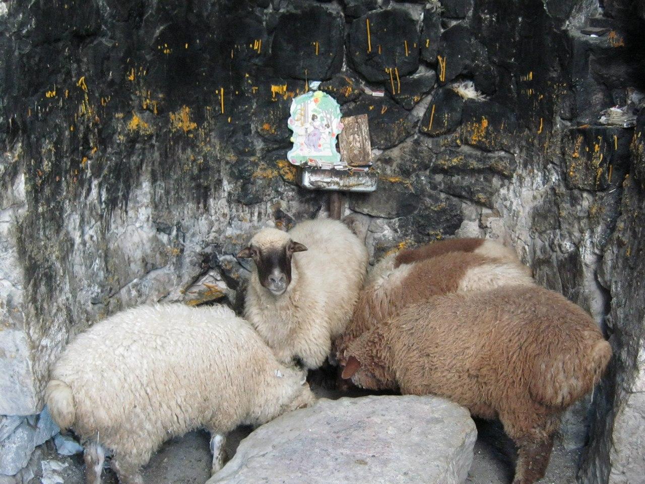 Овцы заходят помолиться в часовню??