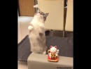 Кот повторяет за игрушкой )