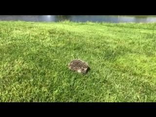 Ёж на 3 лунке в Pine Creek Golf Resort