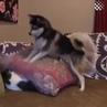 Пес достает кошку