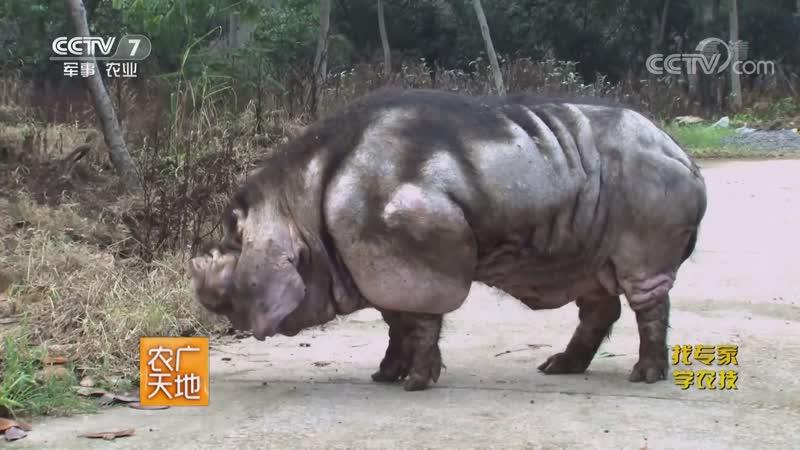 Эруайская (Эрюанская) свинья ''Эр ХуаЛянь Чжу'', или ''Да СюнМао'', что значит ''большая, или гигантская Панда'', среди свиней,