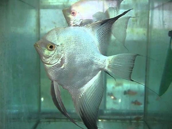 Bulgarian Green Angelfish