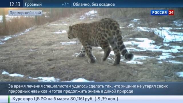 Новости на Россия 24 • От Лео до Толстого: медики научили леопарда быть диким и опасным