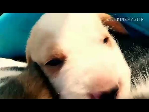 Крутой видос щенки бигль