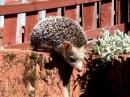 Long eared hedgehog Ушастый ёж Hemiechinus auritus