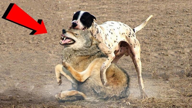 GERÇEK VİDEO Köpek Kurt Karşılaşması ►► Kangal Pitbull Dogo Arjantin Alabai Doberman Wolf vs Dog