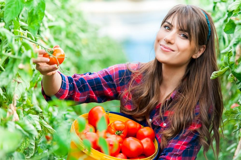 Помидоры от фермерских хозяйств: в чем отличие от магазинных?