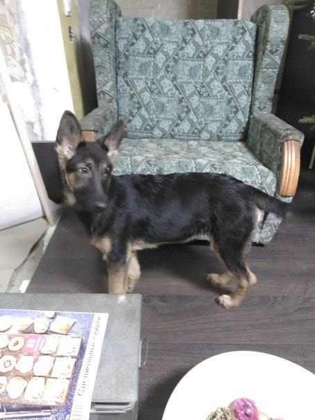 Иваново! Потерялась собака. Девочка 6 месяцев. Порода немецкая овчарка