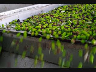 Как делают настоящее оливковое масло. 1 часть.