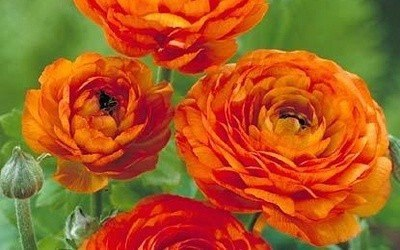 Ранункулус - цветы невест