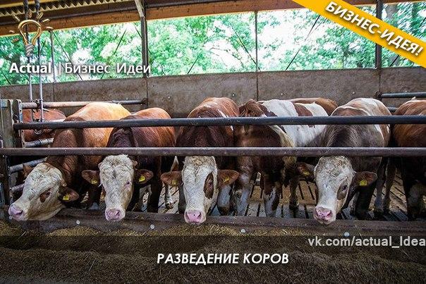 Выращивание бычков рентабельность 1