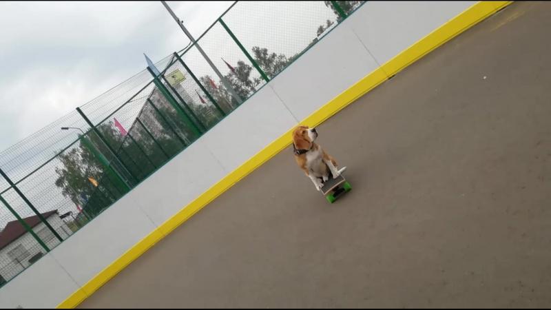 Собака на скейте бигль Бася продолжает тренироваться😉😍