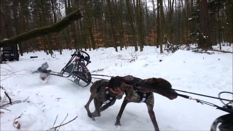 Sled dog sport in Postołowo