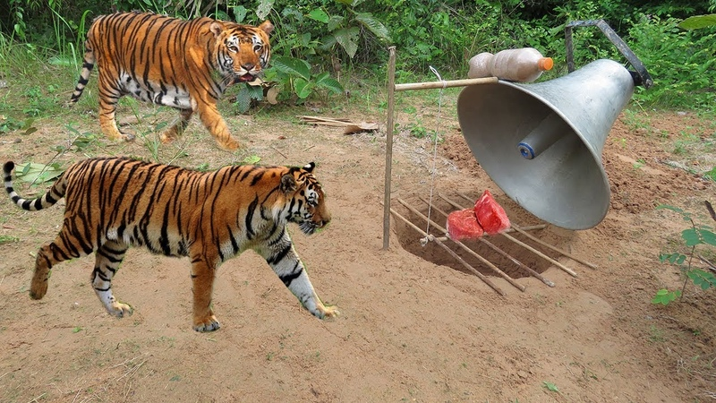 Easy Big Speaker Created Deep Hole Tiger Trap by Man - How To Catches a Tiger With Traps