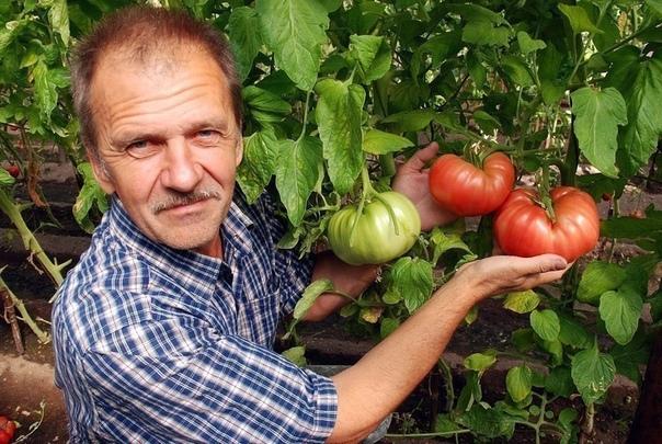 ХОТИТЕ ПОЛУЧАТЬ ПО 2 ВЕДРА ТОМАТОВ С КУСТА МОИ СЕКРЕТЫ:Люблю высокорослые сорта томатов. Я сажаю по 2 растения, выравнивая верхушки, соединив стебли вместе. Они друг друга поддерживают.Сажаю в