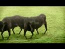 Cyriak Harris - Cows Cows Cows вынос мозга Психодел