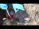 Flegmona Big Abscess In Cow Surgical Solution See How Veterinarians Help