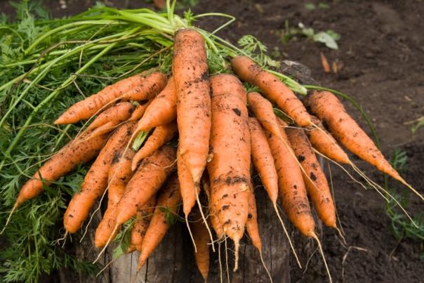 7 шагов к высокому урожаю моркови.