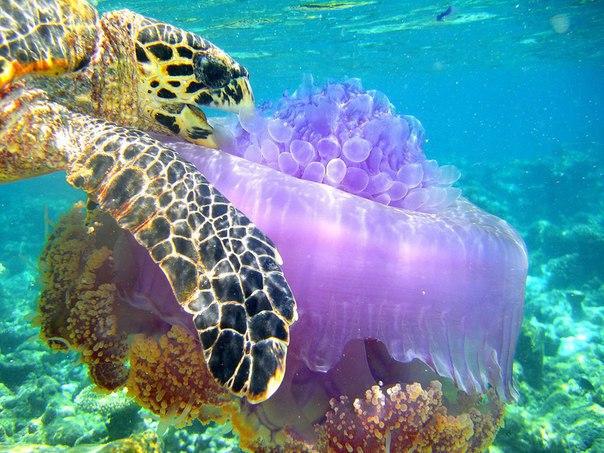 Морская черепаха ест медузу