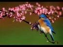 GABUID TRCHUN (Bluebird) - Conj. KUSAN - MIRTA SATDJIAN