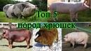 Самые лучшие и распространенные породы свиней в России/какую выбрать породу/животные для деревни