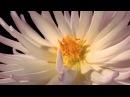 Красивое видео для релаксации. Цветы. Природа.
