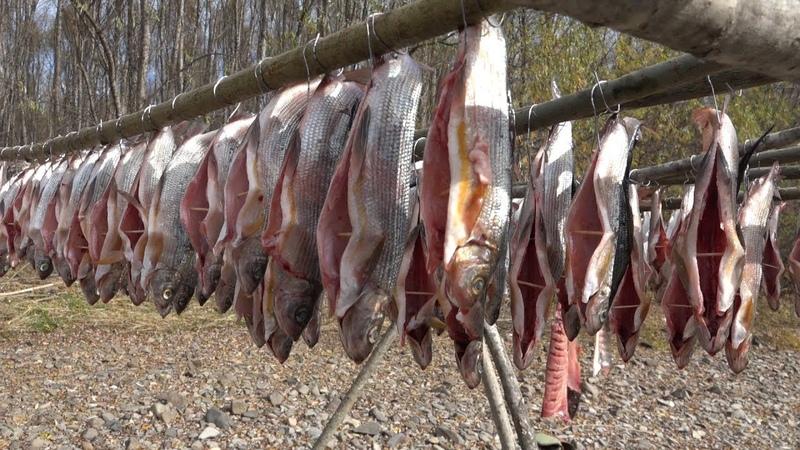 Холодное копчение рыбы ленок хариус в походных условиях