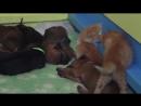 Котята и щенки родезийского риджбека