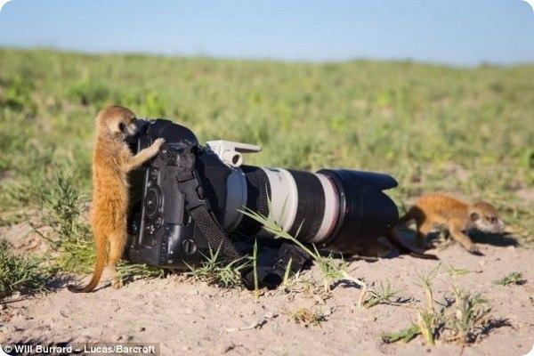 Как выяснилось, животные, обитающие в дикой природе, могут быть не такими уж и дикими, как может показаться на первый взгляд. Например, британский фотограф-натуралист Уилл Беррард-Лукас... #zoopicture #Животные #Сурикат