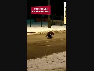 Кот и лиса дерутся за сосиску в Калининграде