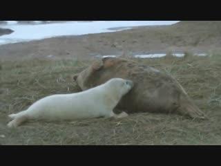 Малыш-тюлень и его мама