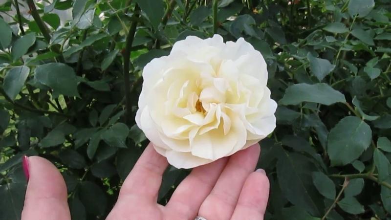 Июнь.Дача.Моя Волжанка во всей красе Розы и т д.На берегу Оки в Тарусе