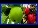 Esta Fruta no es Solo para Navidad Médicos no Quieren que Sepa todo lo que Puede Hacer