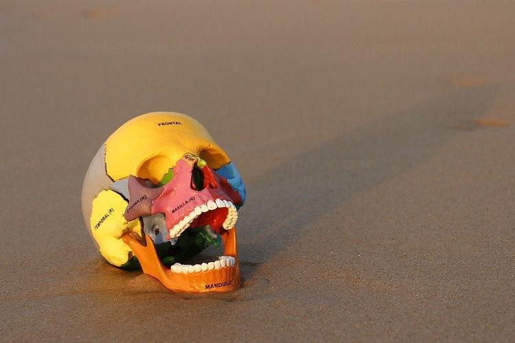 Сборная модель человеческого черепа с цветными секторами