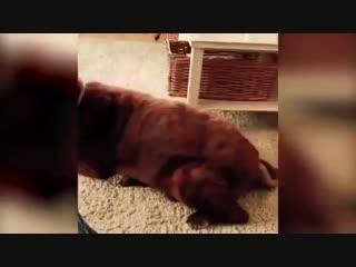 Собака пердит , кот блюёт
