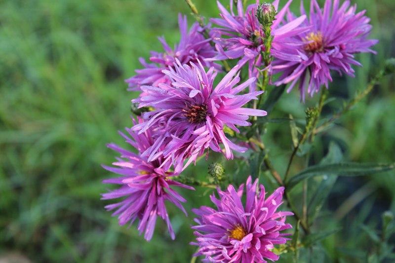 Фотоальбом «Осень - а что в саду и огороде»-Хризантемы