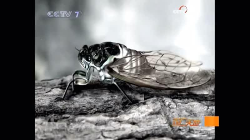Цикада ''Чань'', либо ''Шань''. Самое желанное насекомое на праздничном столе. Сбор взрослых цикад и технология искусственного р
