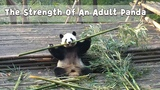 Si Yuan Breaks Off The Bamboo Easily iPanda