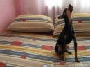 Russian toy terrier Tobby sings Русский той терьер Тобби поет