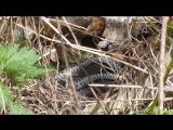 Змеи. Первая видеосъёмка. 21 мая 2017 года.