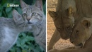 Nat Geo Wild: Дикая сторона кошек (1080р)
