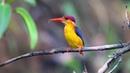 Oriental Dwarf Kingfisher · coub коуб